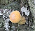 Tylopilus felleus.jpg