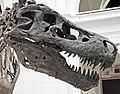 Tyrannosaurus rex (theropod dinosaur) (Hell Creek Formation, Upper Cretaceous; near Faith, South Dakota, USA) 19.jpg