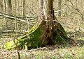 Ulmus Laevis Buttress root 107.jpg