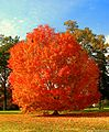 Unidentified orange red tree.jpg