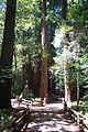 Us-ca-muir-woods.jpg