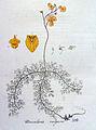 Utricularia vulgaris — Flora Batava — Volume v4.jpg