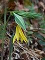 Uvularia grandiflora Arkansas.jpg