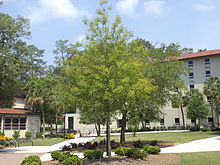 VSU Quad Tree 5.JPG