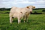 Vache de race charolaise avec son veau.jpg