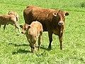 Vache et son veau dans les champs de Kerlavic.jpg