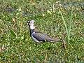 Vanellus vanellus EM1B0049 (48331977621).jpg