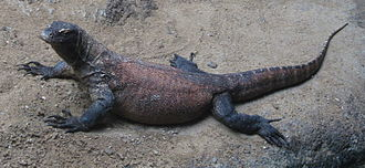 """Life (UK TV series) - """"Reptiles and Amphibians"""" documents how a group of Komodo dragons (pictured) kill and eventually eat a water buffalo using venom."""