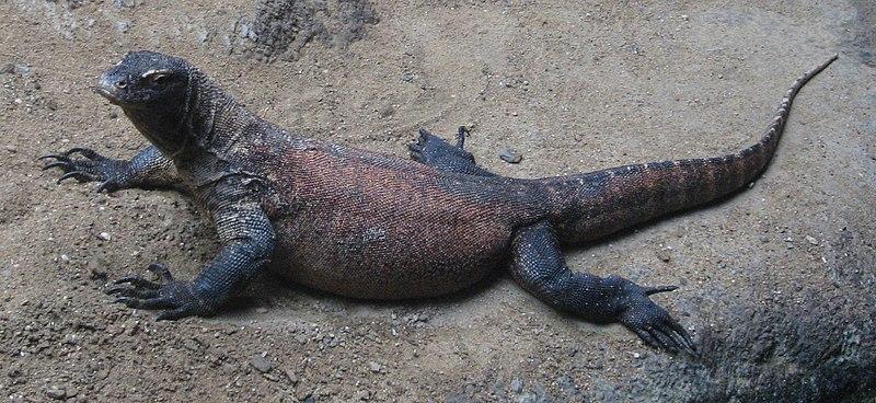Berkas:Varanus komodoensis.JPG