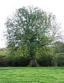 Venerable Ash tree - geograph.org.uk - 77132.jpg
