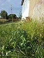 Verbena officinalis sl6.jpg