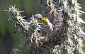 Verdin (Auriparus flaviceps) at nest (16690004429).jpg
