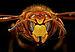 Vespa crabro head 01.jpg