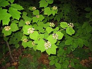 Viburnum acerifolium - Image: Viburnum acerifolium