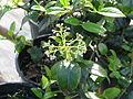 Viburnum atrocyaneum (14165931362).jpg