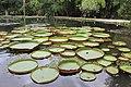 Victoria amazonica, Jardim Botanico, RJ.jpg