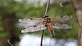 Vierfleck Libellula quadrimaculata 5218.jpg