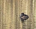 Vigg Tufted Duck (19730570363).jpg
