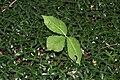 Vinca minor & Arisaema triphyllum SCA-5609.jpg
