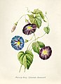 Vintage Flower illustration by Pierre-Joseph Redouté, digitally enhanced by rawpixel 73.jpg