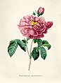 Vintage Flower illustration by Pierre-Joseph Redouté, digitally enhanced by rawpixel 77.jpg