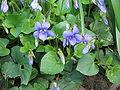 Viola riviniana001.jpg