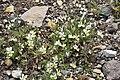 Viola tricolor in Jardin Botanique de l'Aubrac.jpg