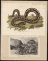 Vipera berus - 1700-1880 - Print - Iconographia Zoologica - Special Collections University of Amsterdam - UBA01 IZ11700157.tif