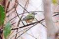 Vireo solitarius by Melissa McMasters.jpg