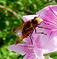 Volucella zonaria - Flickr - gailhampshire (1).jpg