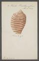 Voluta vexillum - - Print - Iconographia Zoologica - Special Collections University of Amsterdam - UBAINV0274 087 04 0035.tif