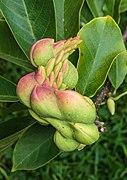 Vruchten van Magnolia (beverboom) 01.jpg