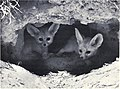 Vulpes zerda cubs.jpg