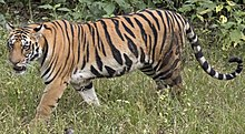 Walking tiger female.jpg