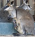 Wallabia bicolor with joey in pouch 03.jpg