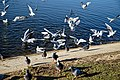 Wanstead Park Heronry Pond, gulls and pigeons, Epping Forest, England 01.jpg