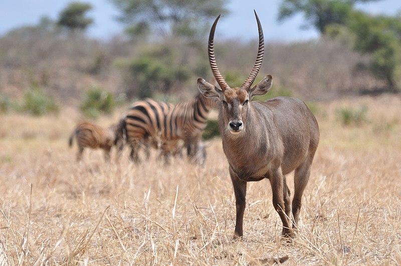 File:Waterbuck - Meru National Park, Kenya - 2014.JPG