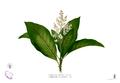Wendlandia luzoniensis Blanco2.302.png