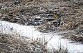Western Meadowlark (14815366276).jpg
