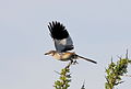 White-banded Mockingbird (Mimus triurus) (15773469158).jpg