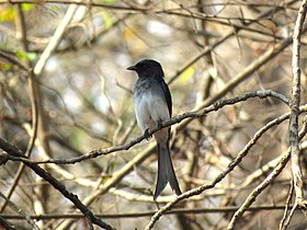 White-bellied drongo IMG 0701.jpg