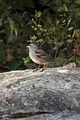 White-crowned Sparrow (Zonotrichia leucophrys) - Algonquin Provincial Park, Ontario.jpg