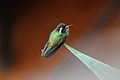 White-eared Hummingbird (Basilinna leucotis).jpg