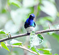 White-necked Jacobin (6927612896).jpg