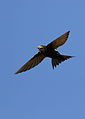 White-rumped swift, Apus caffer, at Suikerbosrand Nature Reserve, Gauteng, South Africa (23270414441).jpg