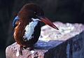 White-throated Kingfisher (Halcyon smyrnensis) (20303377590).jpg