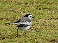 WhiteWagtail DSCN3200.jpg