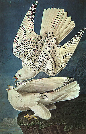 Conservation biology - White gyrfalcons drawn by John James Audubon