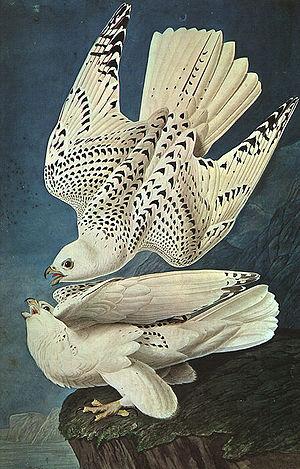 """White Gerfalcons"" Falco rusticolus"