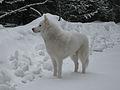 White Siberian Husky snow 2.jpg